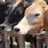 FOOT & MOUTH DISEASE IN DOMESTIC LIVE STOCK