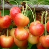 Shopian abuzz with cherry harvesting