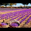 Decline in Saffron Production & its Impact on State Economy