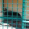 Wildlife Officials capture black bear in Gulmarg