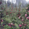High-density apple plantation demand increases in Pulwama district