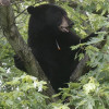 Wildlife Department lodges FIR as tranquilized bear killed by mob in Budgam