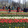 Tulip Garden was thrown open for the visitors Sunday