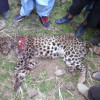 Man injured in brawl with leopard; cat killed too