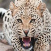 Leopard injures four persons in Pulwama village