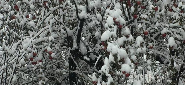 Snowfall: Apple industry faces losses worth crores