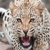 Leopards create panic in Budgam villages