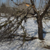 Snowfall damages fruit orchards in north Kashmir
