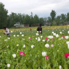 Anti-poppy cultivation drives held across Kashmir