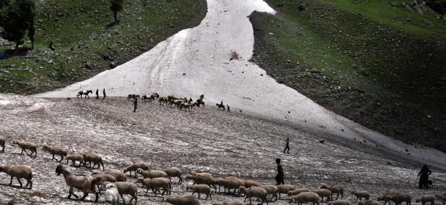 A shepherd alongwith his sheep walks on Chandanwari glaciers...
