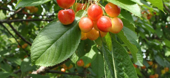 Low cherry prices leave growers of south Kashmir in distress